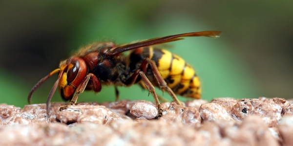 residential pest control - wasps